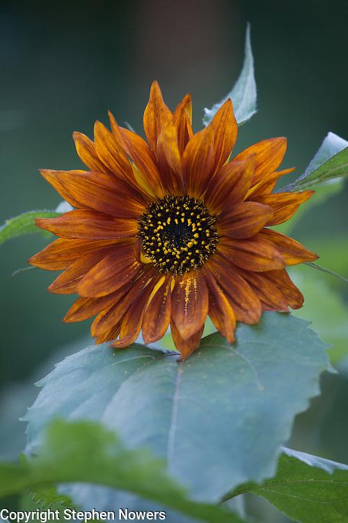 Sunflower in Palmer, Alaska.