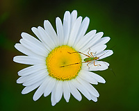 Tiny Green Grasshopper on a Daisy. Image taken with a Fuji X-H1 camera and 80 mm f/2.8 macro lens