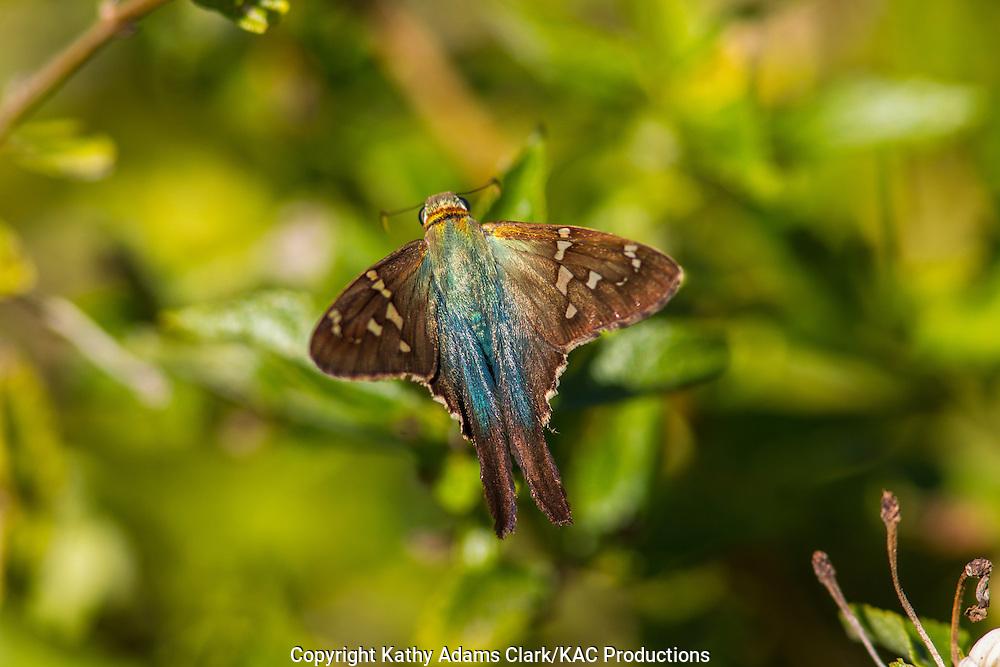 Long-tailed skipper, Urbanus proteus, adult, autumn, Baytown Nature center, Baytown, Texas