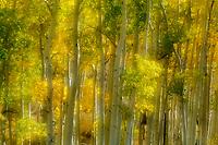 Autumn aspens [Populus tremuloides]; Dallas Creek / Mt. Sneffels area, Colorado