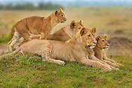 Lion family resting, Panthera leo, Masai Mara National Reserve, Kenya
