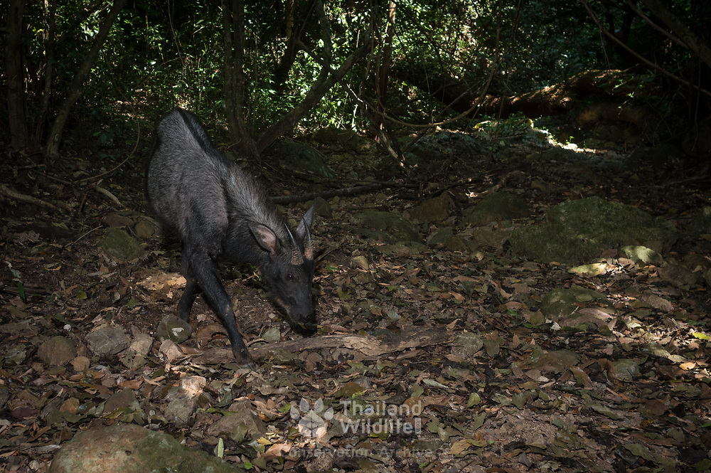 Capricornis milneedwardsii (Chinese Serow, Southwest China Serow) in Kaeng Krachan National Park, Thailand.