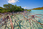 6204-1025  - Copyright: George H.H. Huey - Red mangroves and roots at Shroud Cay, Exuma Islands.  Exuma Land and Sea Park, Bahamas.