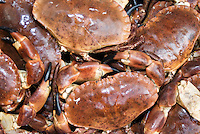 Close-up of fresh Dungeness crabs