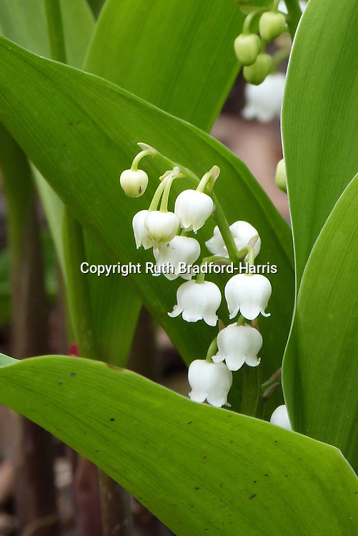 Tiers of delicate, waxy, ivory-white flowers and fresh green leaves of 'Lily of the Valley (Convallaria majalis).<br />