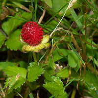 Wild strawberry. Backyard spring nature in New Jersey. Image taken with a Nikon D2xs camera and 105 mm f/2.8 VR macro lens (ISO 100, 105 mm, f/11, 1/60 sec).