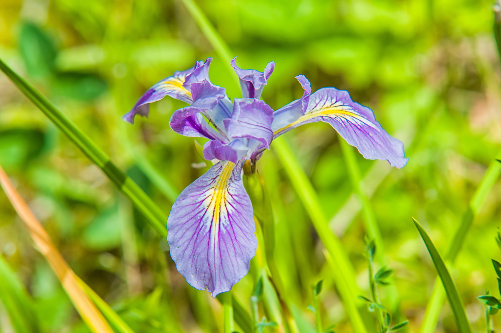 This stunning iris was found driving through Northern Oregon. A few miles later I found more growing along a seepage bog on the edge of the deeper part of the forest surrounding Mount Hood.