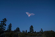 Wild bat (myotis sp.) flying at dusk in Central Oregon. © MIchael Durham