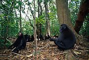 From the 35 apes in this group at least 15 black abes are always on ther ground. | Von den 35 Schopfmakaken sind meist mindestens 15 auf dem Boden unterwegs.