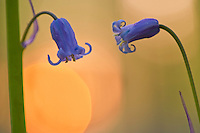 Backlit bluebells Hyacinthoides non-scripta in Hallerbos forest, Belgium