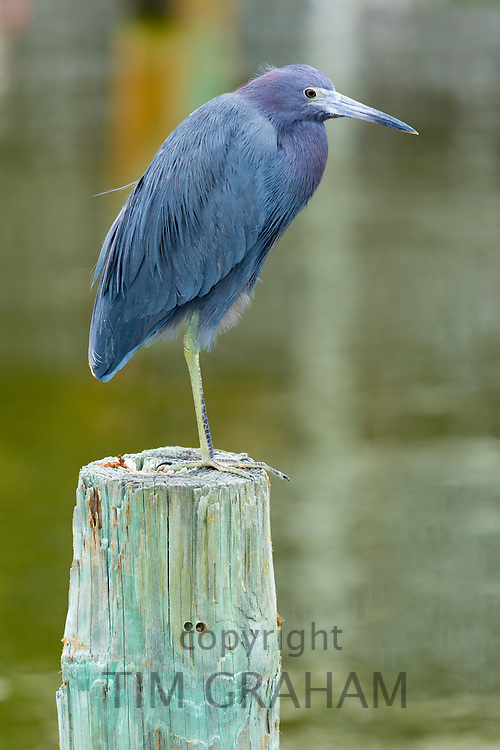 Little Blue Heron, Egretta caerulea, wading bird standing on one foot on a pole at Captiva Island, Florida, USA