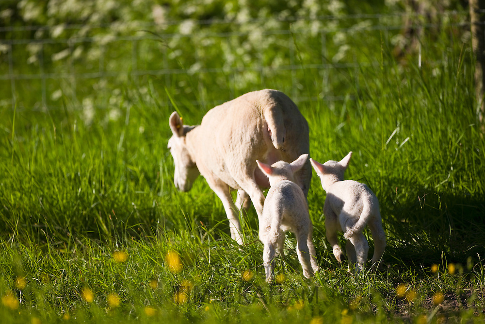 Sheep and lambs in buttercup meadow, Taynton, The Cotswolds, Oxfordshire