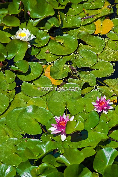 Lotus Garden, Tillman Water Reclamation Plant, Woodley Park, Lake Balboa, Van Nuys, CA.