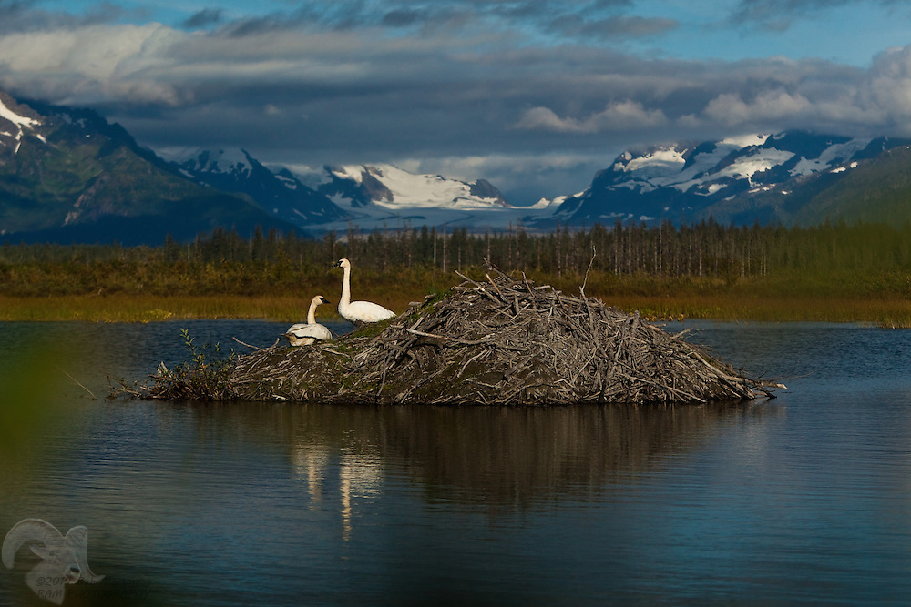 A pair of Trumpeter Swans rest on a beaver lodge in a pond on the Copper River Delta in the Gulf of Alaska. Sheridan Glacier can be seen in the background. The swans mate for life.