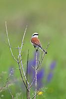 Red-backed Shrike, Lanius collurio, male, Slovakia, Europe, Neuntöter, Rotrückenwürger, Männchen, Lanius collurio, Slowakei