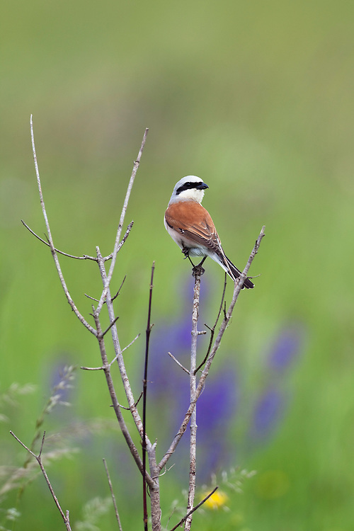 Red-backed Shrike, Lanius collurio, male, Slovakia, Europe, Neuntöter, Rotrückenwürger, Männchen, Lanius collurio, Slowakei