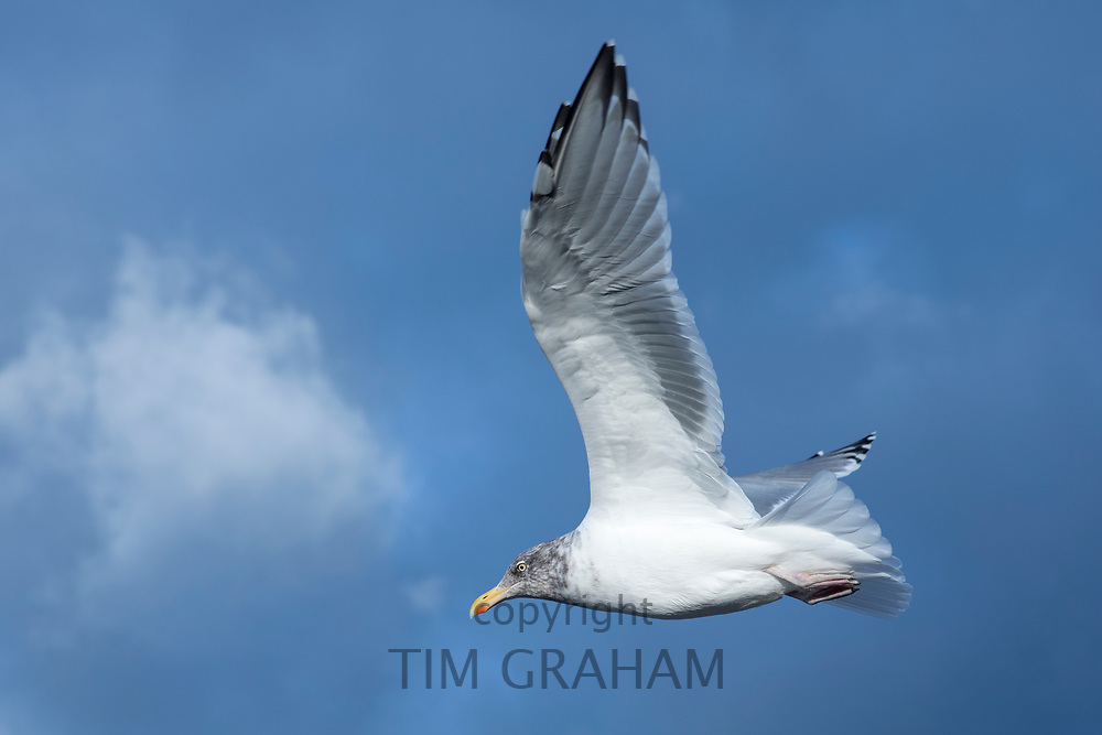 Close up underside of wings and feathers of juvenile Herring Gulll, Larus argentatus smithsonianus, soaring in lone flight at Cape Cod, USA