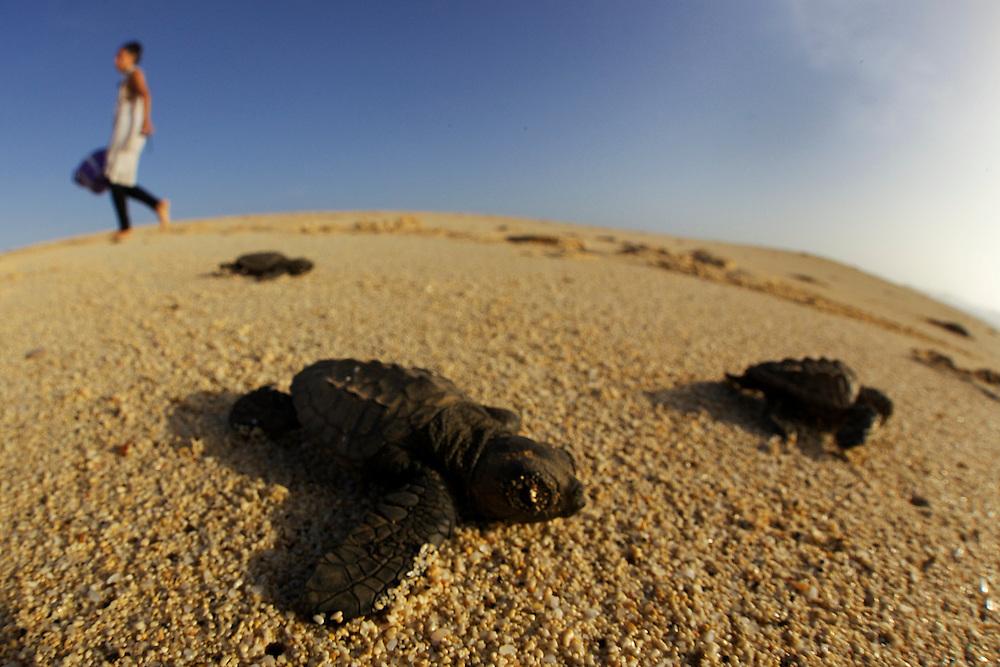 15/Septiembre/2014 Cabo Verde. Boa Vista.<br /> Cr&iacute;as de tortuga Carettha carettha se dirigen al mar despu&eacute;s de eclosionar el nido en la playa de Joao Barrosa.<br /> <br /> &copy; JOAN COSTA