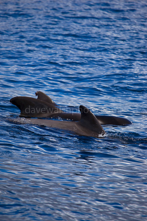 Dorsal fins of Short-finned pilot whales, Globicephala macrorhynchus, off the coast of La Gomera, in the Canary Islands, from whalewatching boat 'Tina'.