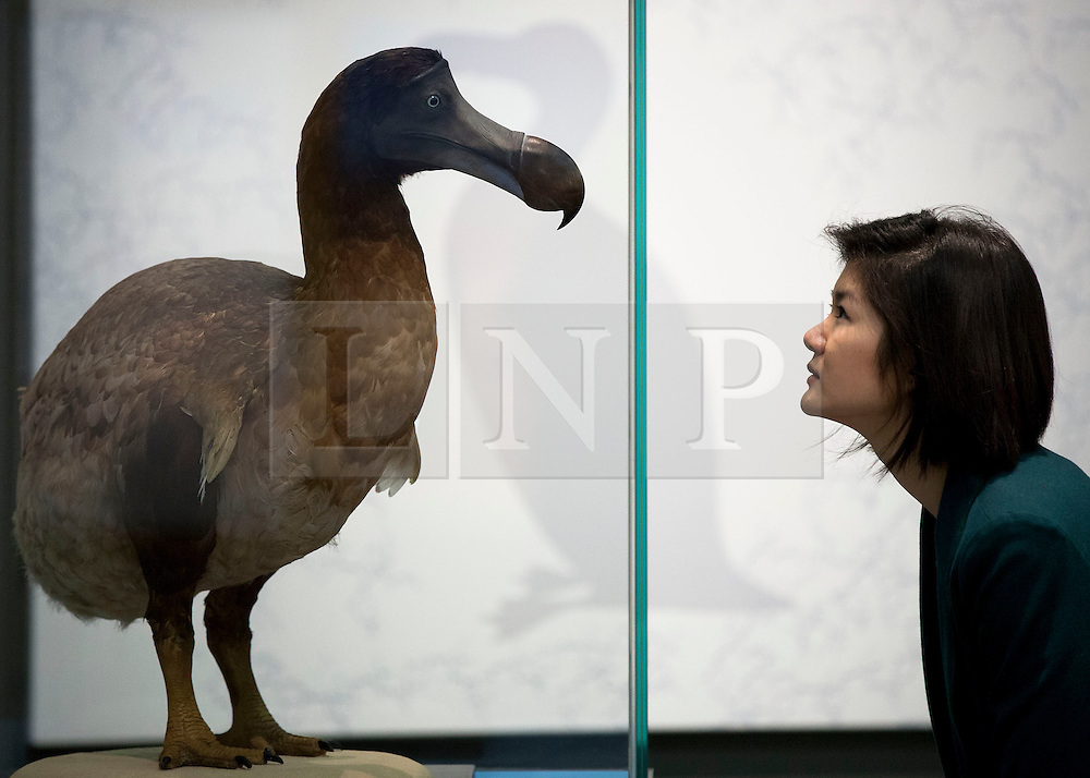 © Licensed to London News Pictures. 05/02/2013. London, UK. A member of Natural History Museum staff views a stuffed dodo, itself a species that became extinct through the action of man, at the press view for 'Extinction: Not the End of the World' in the Natural History Museum in London today (05/02/13). The exhibition, open to the public on the 8th of February 2013, brings together more than 80 museum specimens to guide visitors on a journey through the death and destruction of species, demonstrating the crucial role that extinction plays in the evolution of life. Photo credit: Matt Cetti-Roberts/LNP