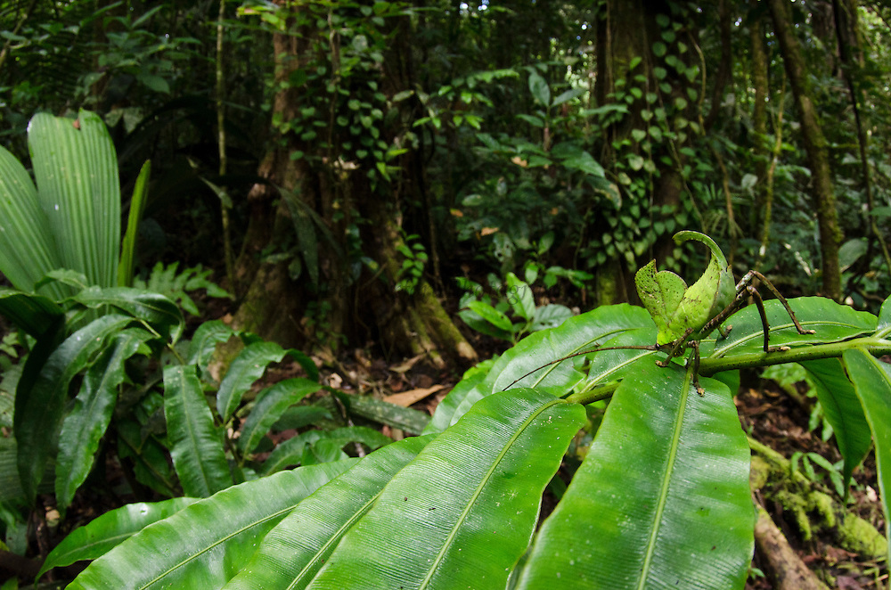 Leaf Katydid (Cycloptera speculata)<br /> Yasuni National Park, Amazon Rainforest<br /> ECUADOR. South America<br /> HABITAT & RANGE:Leaf Katydid Nymph (Cycloptera sp.)<br /> Yasuni National Park, Amazon Rainforest<br /> ECUADOR. South America<br /> HABITAT & RANGE: