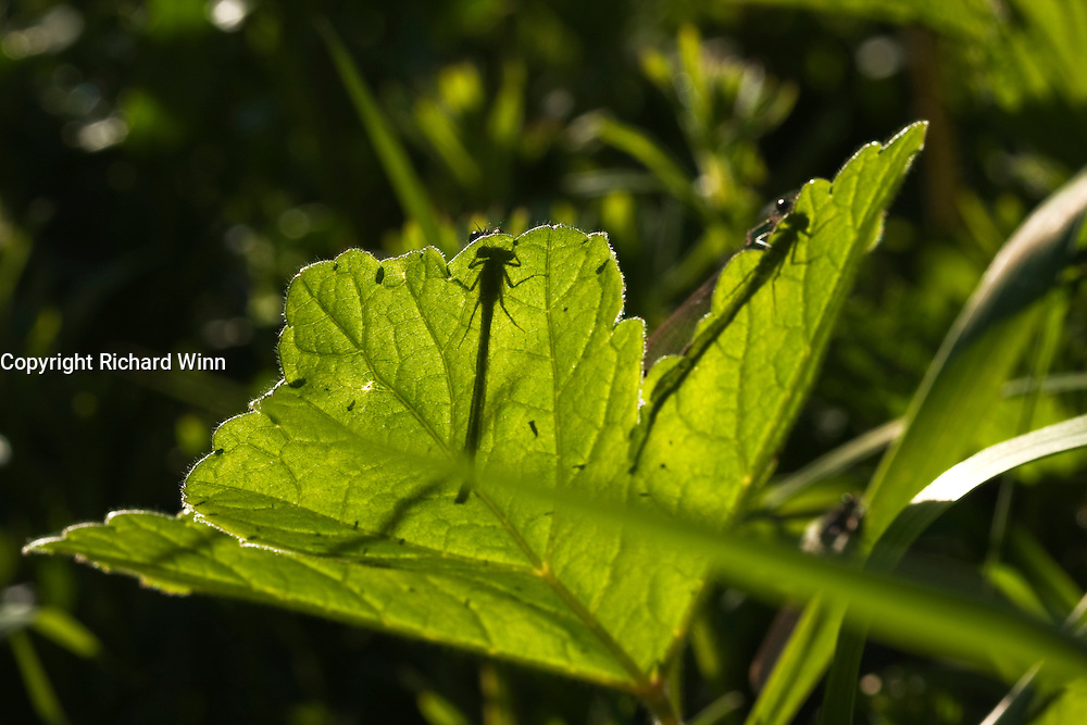 Blue-tailed damselflies resting on a leaf, backlit by the sun, creating a silhouette through the leaf.