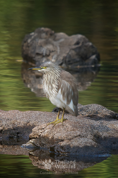 The Chinese pond heron (Ardeola bacchus) is an East Asian freshwater bird of the heron family (Ardeidae). Seen here in adult winter plumage. Khao Yai, Thailand.