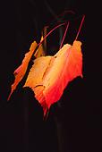 Maple Leaves | Colour