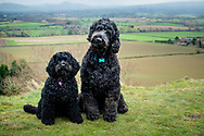 Two black cockerpoos sitting on hillside with views of Shropshire countryside behind