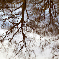 Winter Tree Reflected in a River Knaresborough North Yorkshire England