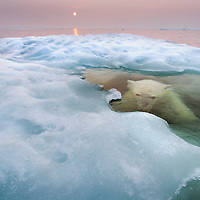 Canada, Manitoba, Churchill, Polar Bear (Ursus maritimus) hides submerged beneath melting sea ice in Hudson Bay on summer evening