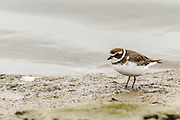 Semipalmated Plover, Bolsa Chica Wetlands, North America