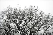 Fieldfare (Turdus pilaris) flock resting in bare oak tree, Kiel, Germany, March. | Wacholderdrossel (Turdus pilaris)
