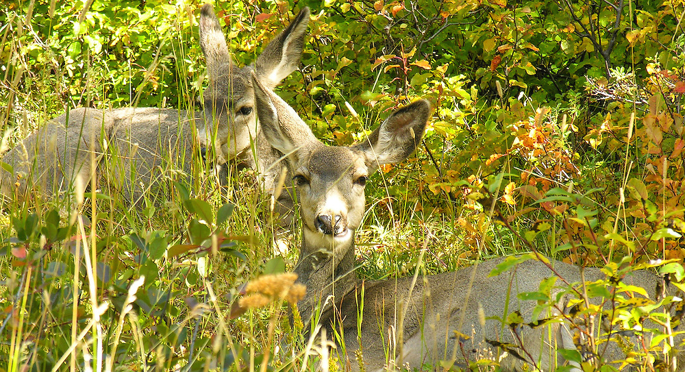 Fawns silently hiding behind the grass; you can hardly see them from far away.  Glacier National Park, Montana.