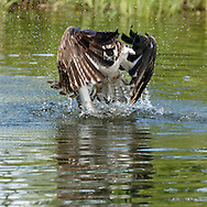 Determination: Osprey completes powerful foward stroke of its wings to fly up from a pond with a fish. © 2015 David A. Ponton