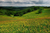 Flower field in the Ardennes. (Ranunculus acris) Meadow buttercup, Tall buttercup, Ardennes, Luxembourg