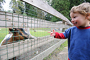 Young boy admires a mountain goat in a fenced area