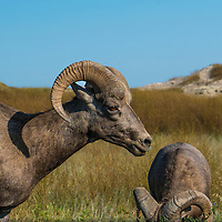 Two male Bighorn sheep grazing on grass in South Dakota.