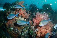 Surgeonfish and Soft Corals<br /> <br /> Shot in Indonesia