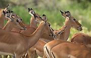 Impala-female-herd