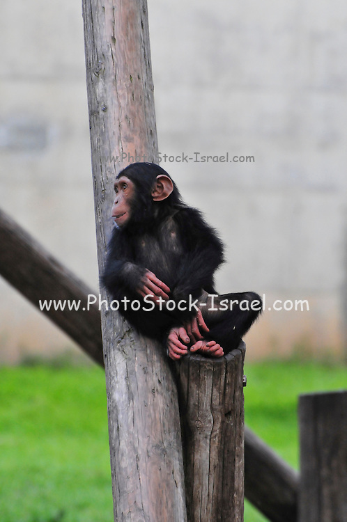 Chimpanzee (Pan troglodytes) in captivity young newborn specimen
