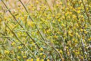 Desert plant: spurge, euphorbia guyoniana, euphorbiacae, with tiny yellow flowers, Merzouga, Morocco.
