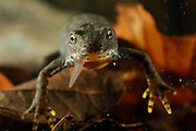 Alpine Newt (Triturus alpestris) female eating a tadpole, Kiel, Germany | Während ihrer aquatischen Lebensabschnitte stehen bei dem Bergmolch-Weibchen  (Triturus alpestris) auch Kaulquappen auf der Speisekarte. Erwachsene Molche würden auch durchaus ihreneigenen Nachwuchs auffressen, allerdings schlüpfen die Molchlarven normalerweise erst, wenn die Erwachsenen bereits wieder zum Landleben zurückgekehrt sind.