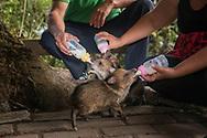 Pecari tajacu, a species of wild pig, enjoying their breakfast.