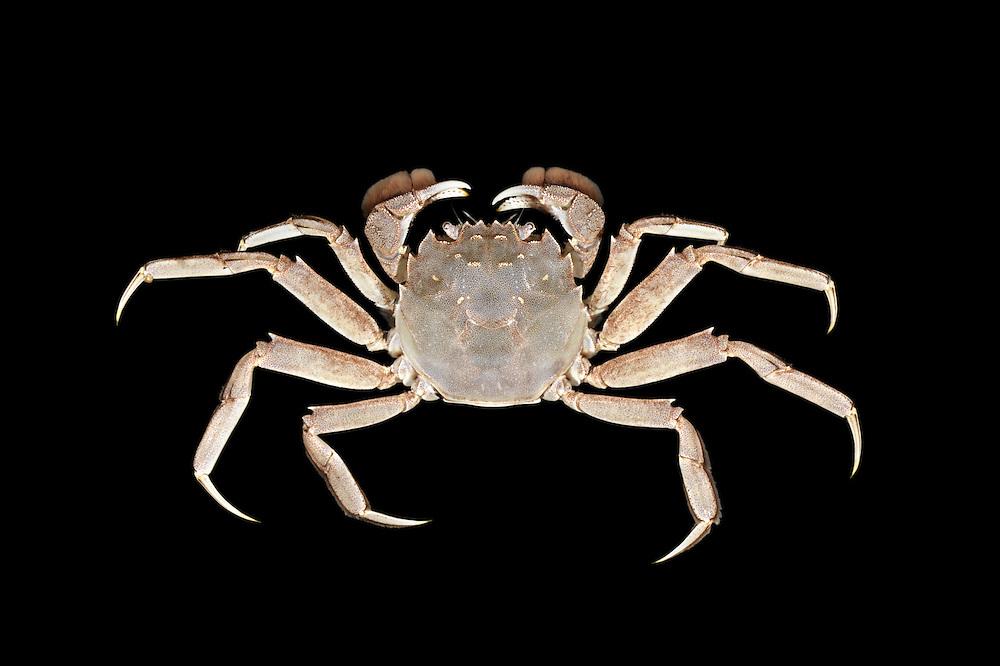 Chinese Mitten Crab - Eriocheir sinensis