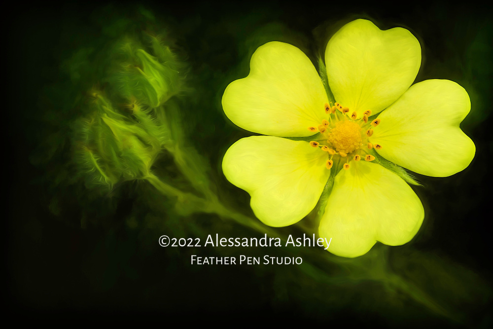 Five heart-shaped lemon yellow petals mark the perennial cinquefoil wildflower.  Macro photgraph with painterly effects.