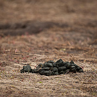 spring grizzly bear scat