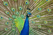 A captive peacock — specifically Indian peafowl or blue peafowl (Pavo cristatus) — fans out his tail feathers to display the colorful eyespots contained on them. Peacocks typically drag their feathers in a long train, which can make up 60 percent of the length of their bodies. The Indian peafowl is a member of the pheasant family and is native to South Asia.