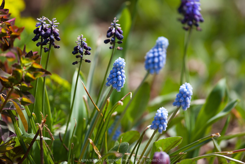 Clusters of tiny-flowered pale blue grape hyacinth ( Muscari armeniacum)