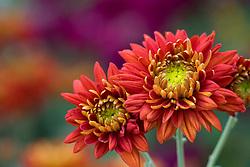 Chrysanthemum 'Red Bagley'